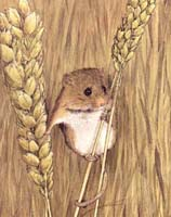 Harvest Mouse print from painting by Isabel Clark